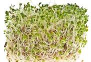Alfalfa and gout