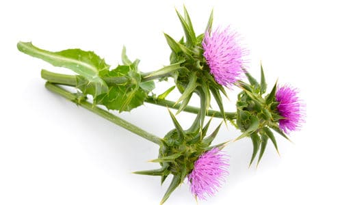 Milk Thistle and Gout
