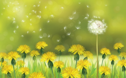 Dandelion and Gout